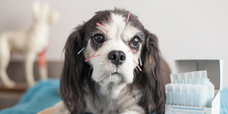Dogs in Motion article about Facts on Acupuncture for treating animal pain management by Michelle Monk
