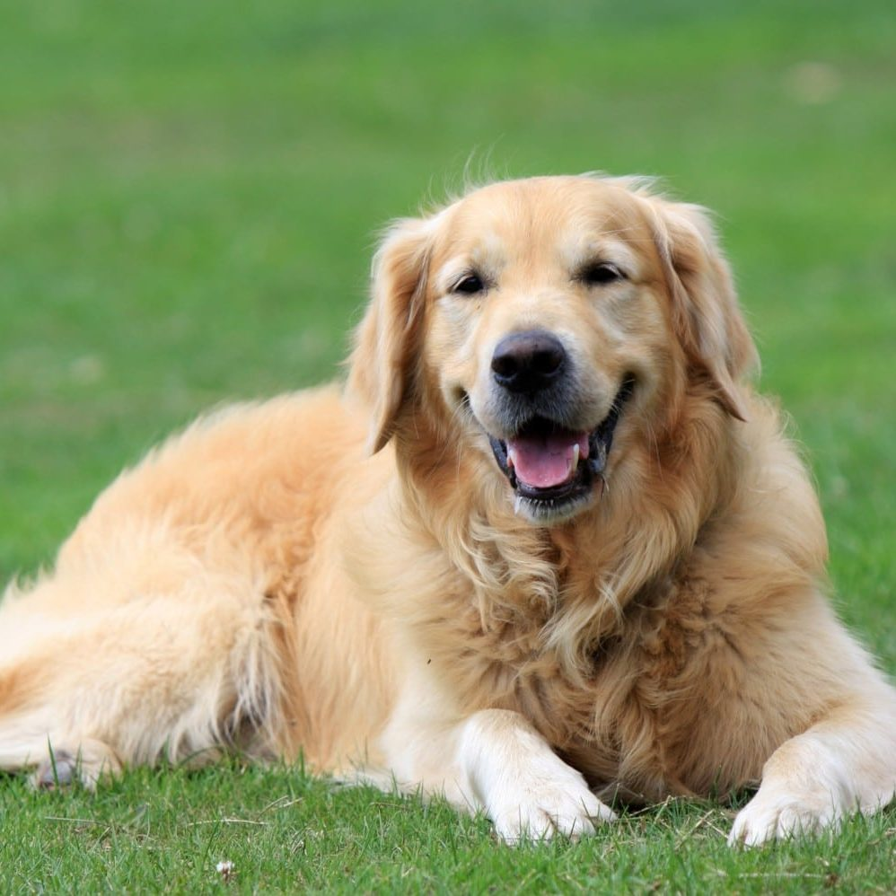 Dogs in Motion Canine Rehabilitation Help Your Senior Dog Live Longer